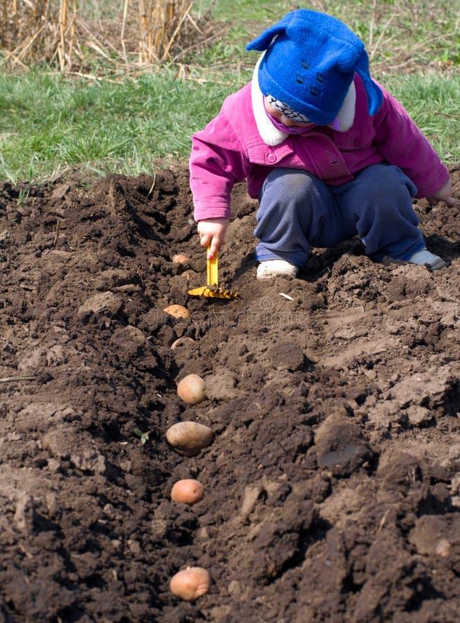 Милая картошка засева маленькой девочки в ряд, осеменяющ процесс. стоковая фотография rf