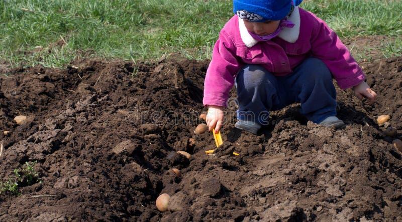 Милая картошка засева маленькой девочки в ряд, осеменяющ процесс. стоковая фотография
