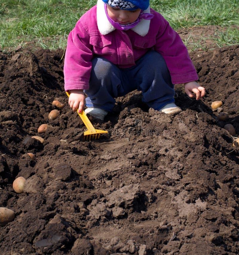 Милая картошка засева маленькой девочки в ряд, осеменяющ процесс. стоковое фото rf