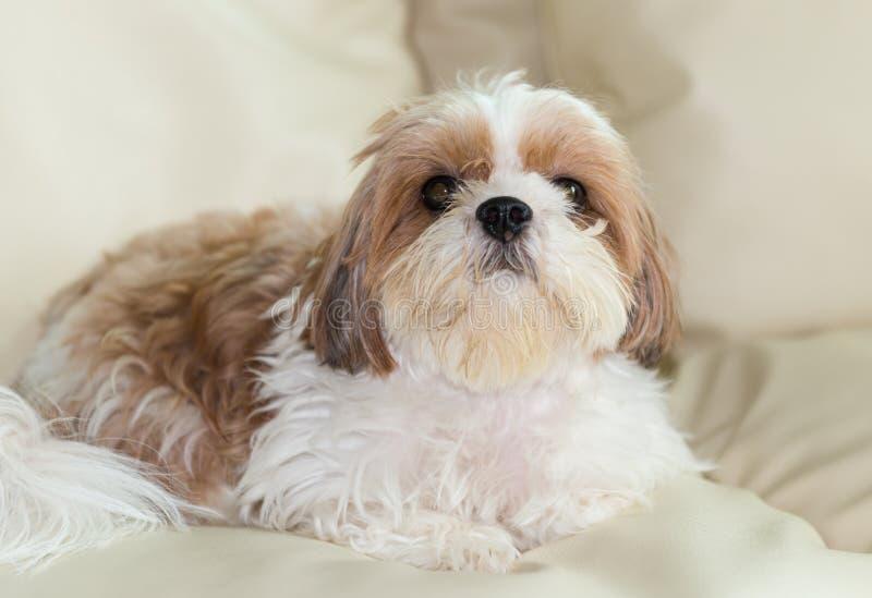 Милая коричневая собака Shih-Tzu стоковое фото