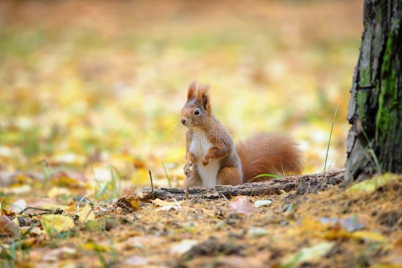 Милая красная белка стоя в земле леса осени стоковые изображения rf