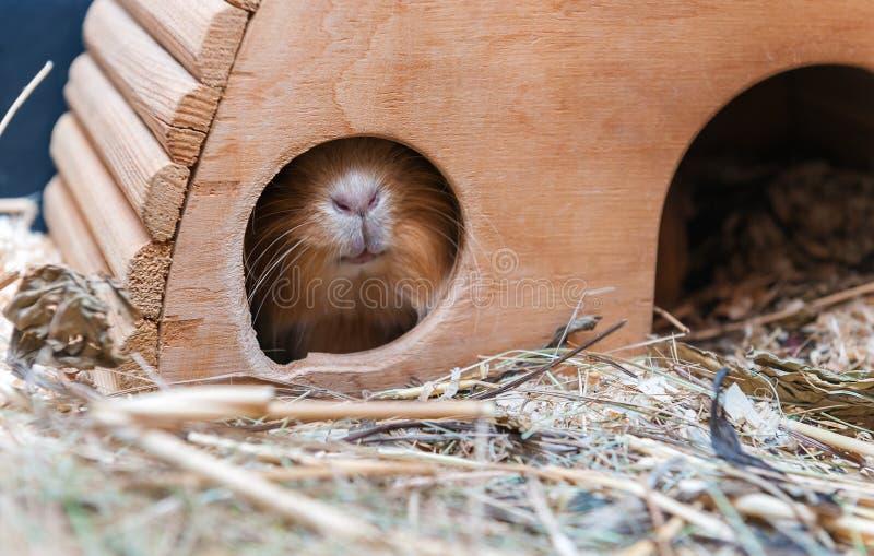 Милая красная морская свинка пряча в деревянном доме стоковое фото rf