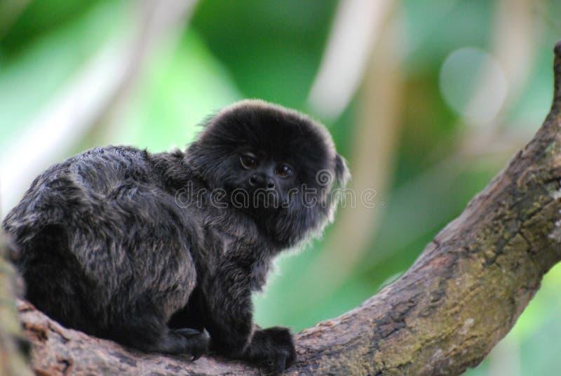 Милая мартышка ` s Goeldi сидя в дереве стоковые фотографии rf