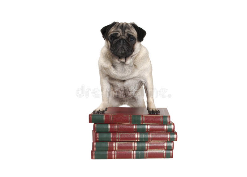 Милая маленькая собака мопса стоя на книгах с передними ногами стоковые фото