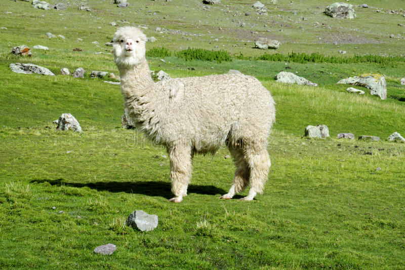 Милая меховая белая альпака стоковое изображение