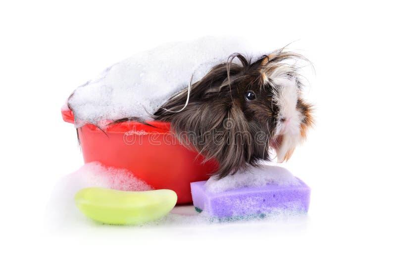 Милая морская свинка в ванне стоковая фотография rf