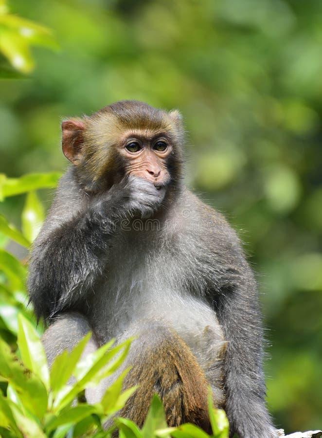 Милая обезьяна есть листья стоковые изображения