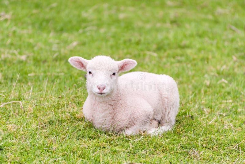 Милая овечка лежит в траве стоковая фотография rf