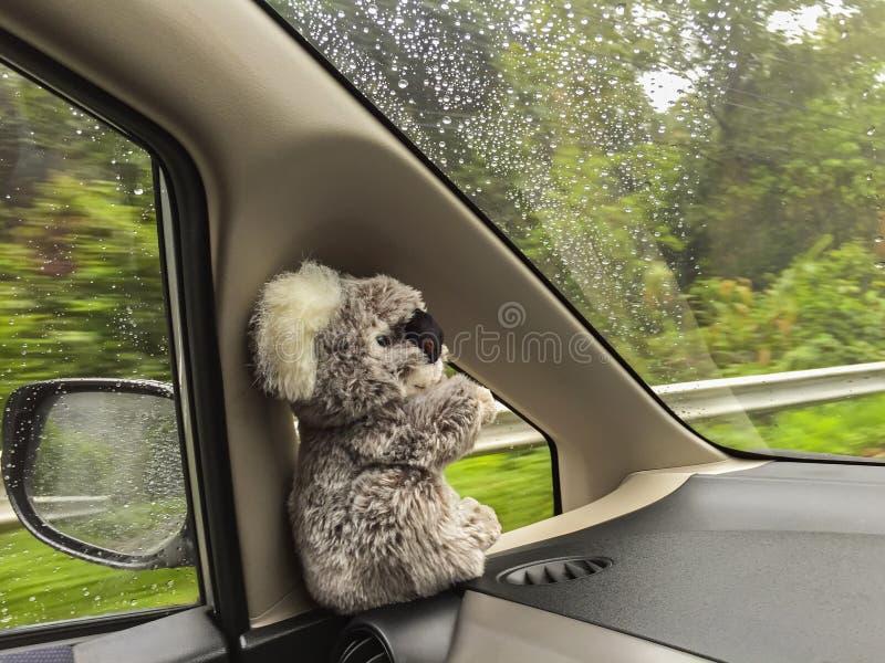 Милая одичалая кукла медведя коалы сидя внутри moving автомобиля около крыла mi стоковые фото