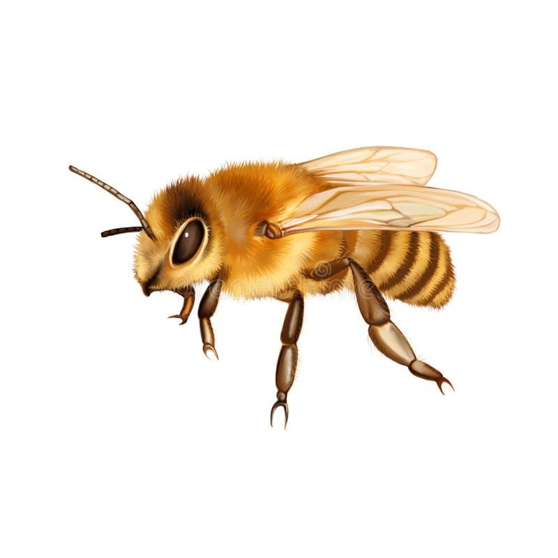 Милая пчела изолированная на белизне стоковые фотографии rf