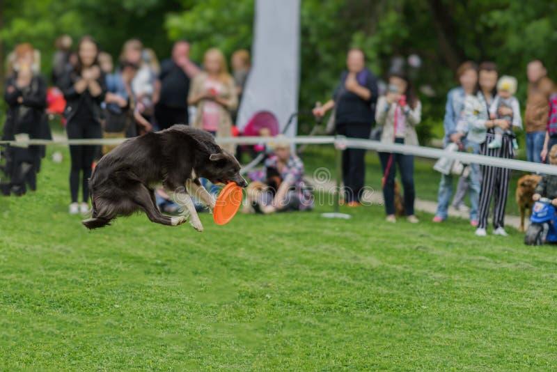 Милая собака в траве на парке лета во время улавливать диск frisbee, момент скачки Счастье в энергии и в движении Собака стоковое фото rf