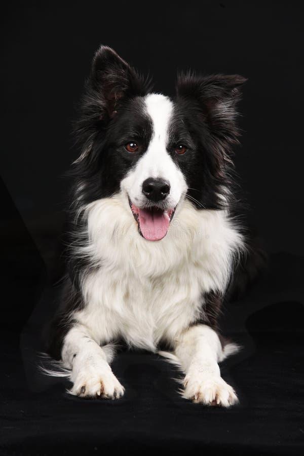 Милая собака Коллиы границы лежа на черной предпосылке стоковое изображение