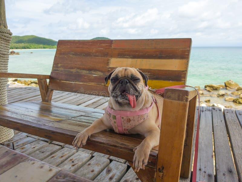 Милая собака мопса ослабляя, отдыхая, или спать на море стул стенда пляжа, под ярким солнцем на мосте пристани стоковые изображения