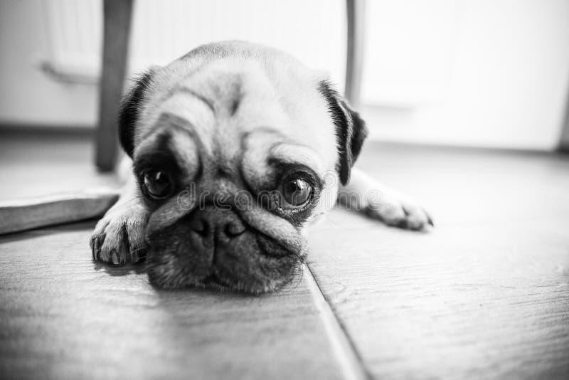 Милая собака мопса стоковое изображение rf