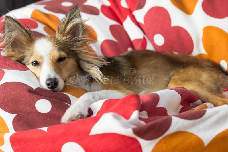 Милая собака ослабляет в сумке фасоли стоковые фото