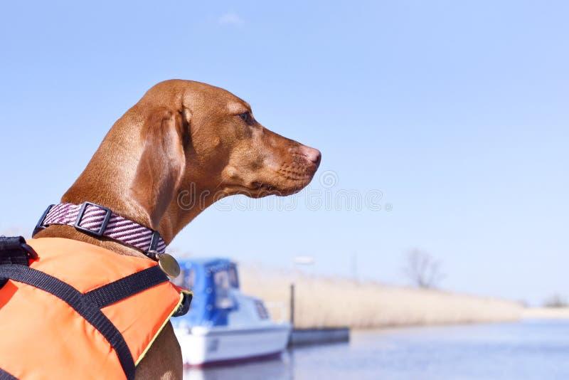 Милая собака с спасательным жилетом стоковое фото