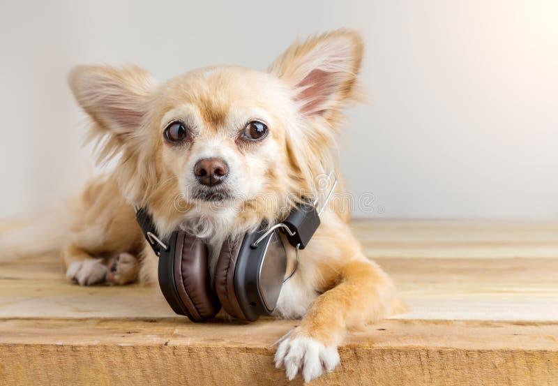 Милая собака чихуахуа слушая к музыке в большом кожаном темном проводе стоковые изображения rf