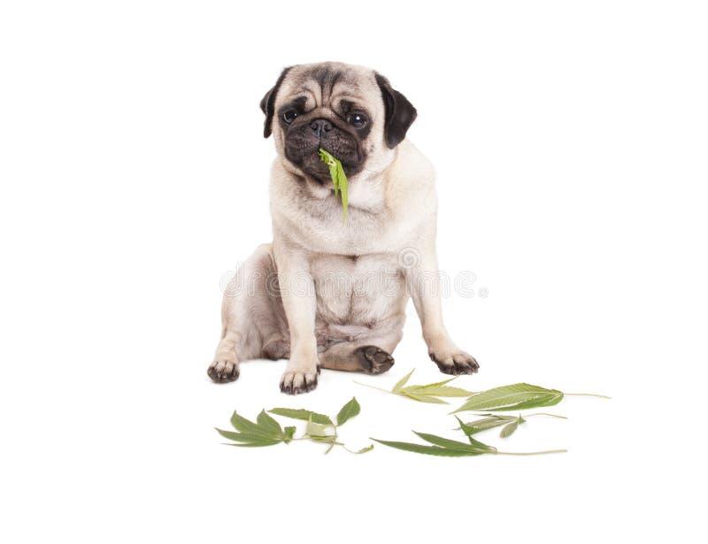 Милая собака щенка мопса сидя и есть листья засорителя конопли sativa, на белой предпосылке стоковая фотография