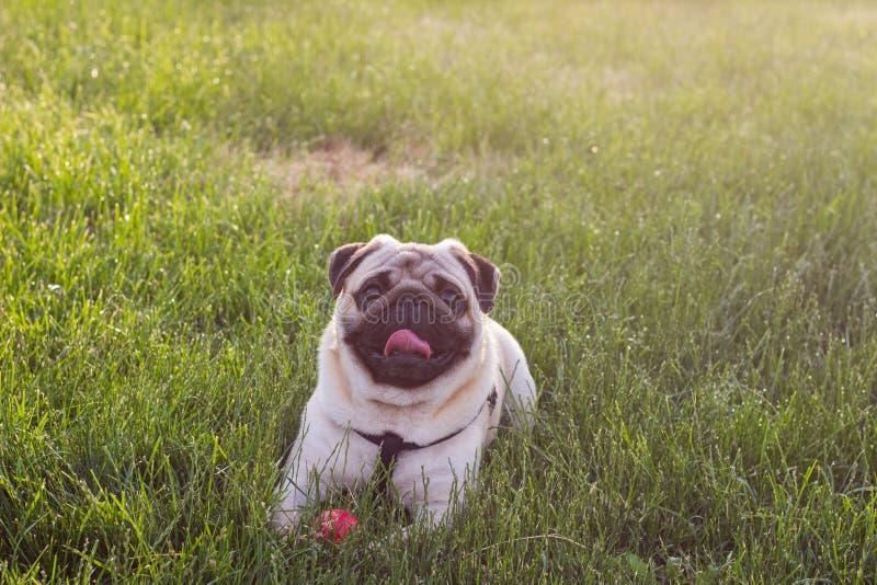 Милая собака Mops играть внешние улыбки с красным шариком Выследите лежать в траве и смотреть вверх на камере стоковая фотография rf
