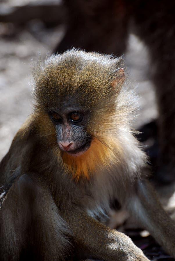 Милая сторона обезьяны Mandrill младенца в одичалом стоковая фотография