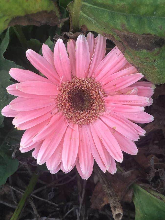 милая цветка розовая стоковое изображение