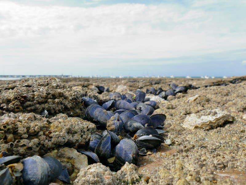 Мидии и щипцы закрывают вверх на береговых породах во время отлива стоковое фото rf