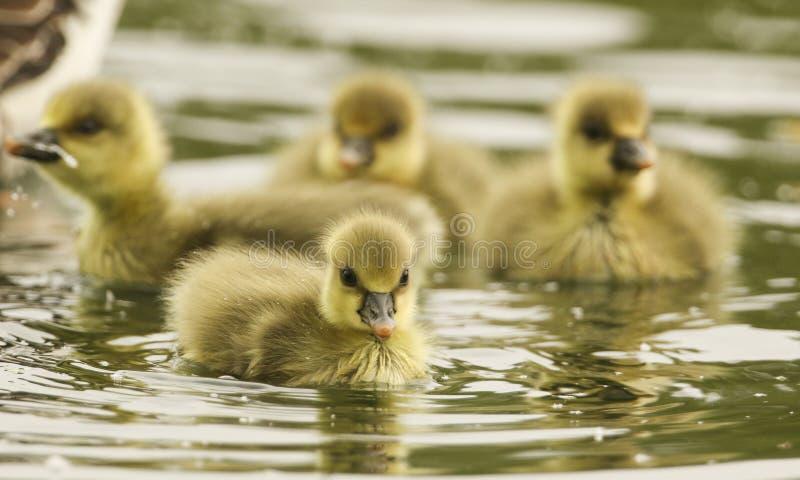 Милое заплывание anser Anser гусят гусыни Greylag младенца на озере стоковая фотография