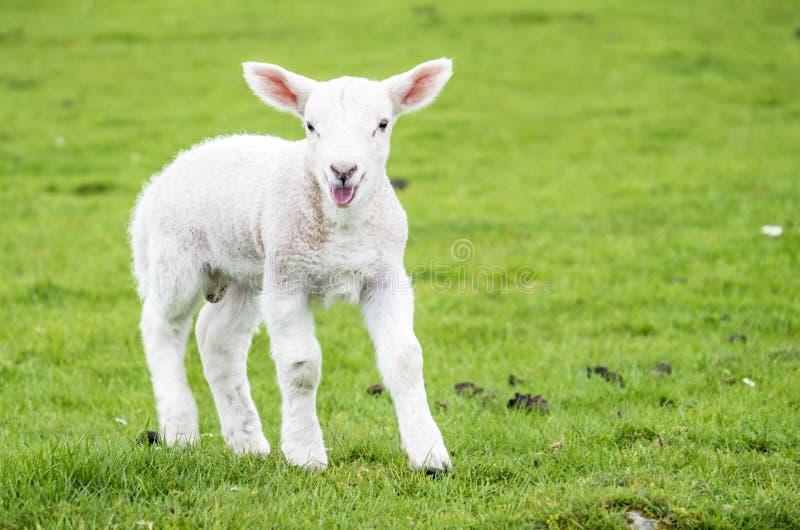 Милое маленькое жилище овечки в зеленом красивом шотландском поле стоковые изображения rf