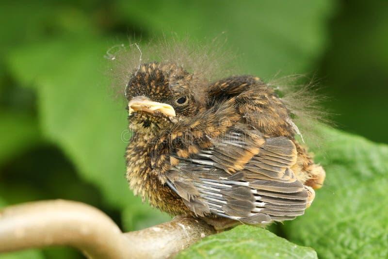 Милое rubecula Erithacus Робина младенца садилось на насест на ветви стоковое фото rf