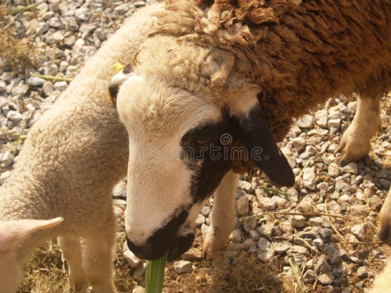 Милые белые черные и коричневые овцы стоят в стойле стоковые изображения