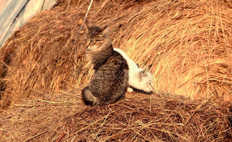 Милые коты в сене стоковое изображение
