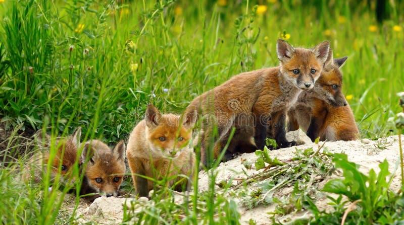 Милые одичалые новички красной лисы стоковые фото