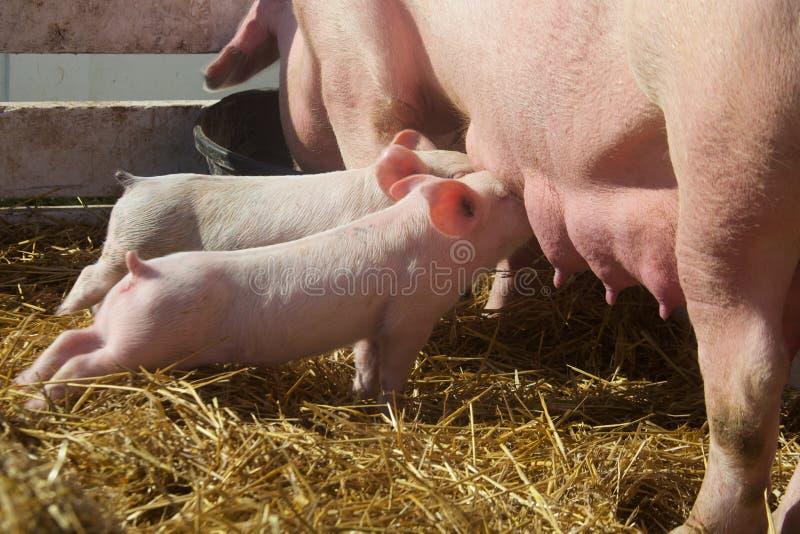 Милые поросята младенца доя от свиньи матери стоковое фото rf