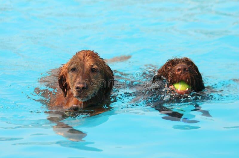 Милые собаки на бассейне стоковые фотографии rf