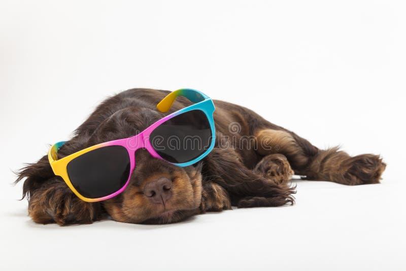 Милые солнечные очки собаки щенка Spaniel кокерспаниеля нося стоковая фотография rf