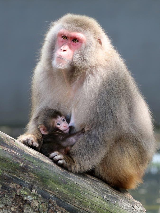 Милые японские обезьяны стоковое фото rf