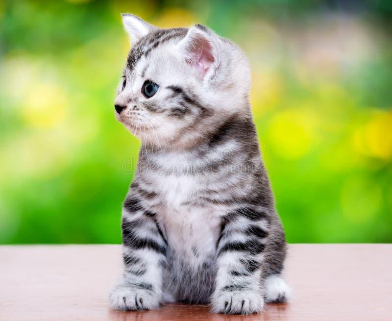 Милый американский котенок кота shorthair предпосылка белизны o стоковое изображение