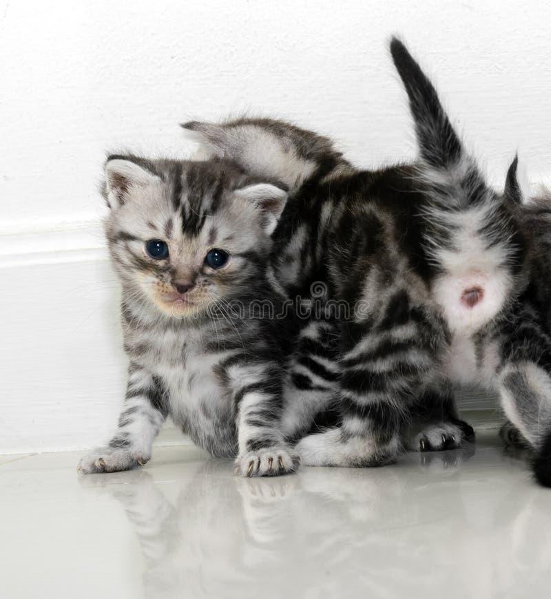 Милый американский котенок кота shorthair стоковые фото