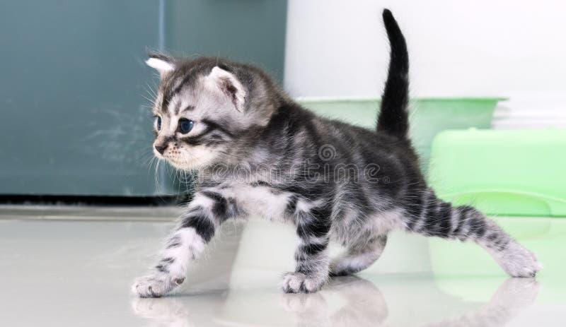 Милый американский котенок кота shorthair стоковые изображения rf