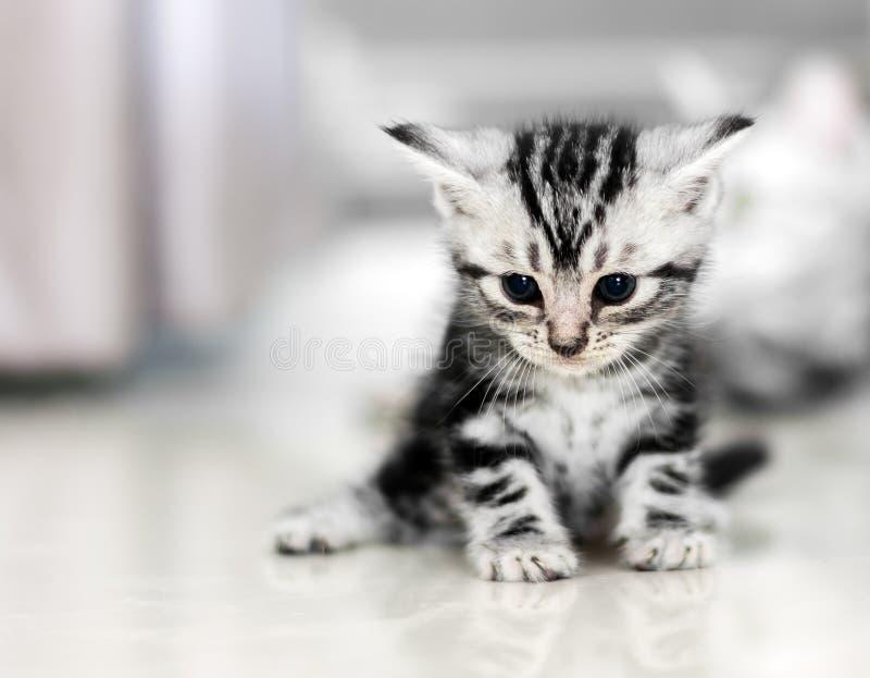 Милый американский котенок кота shorthair стоковая фотография rf