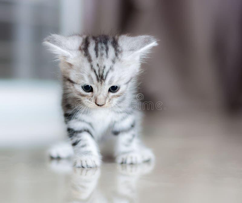 Милый американский кот shorthair стоковая фотография rf