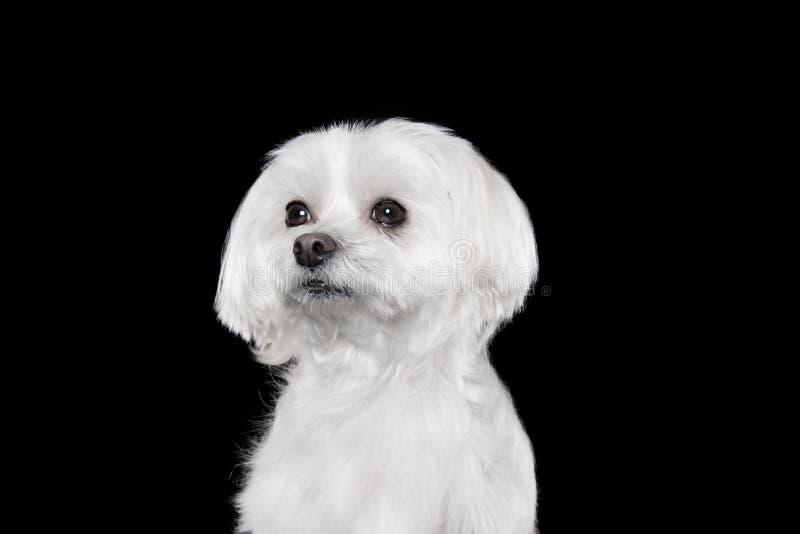 Милый белый щенок представляя в студии - мальтийсной собаке стоковое изображение rf