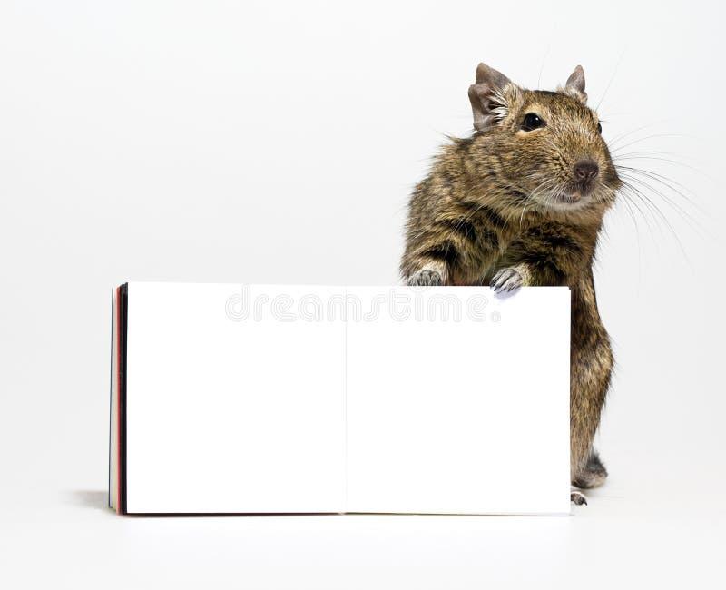 Милый грызун degu с пустым плакатом в лапках стоковая фотография