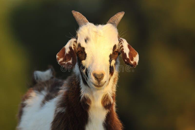 Милый испещрянный ребенк козы стоковое фото