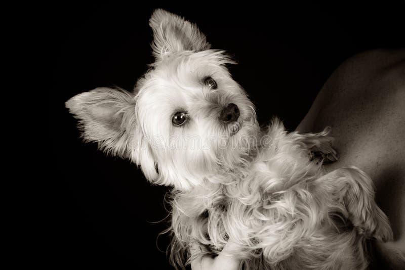 Милый и симпатичный молодой Йоркшир стоковая фотография