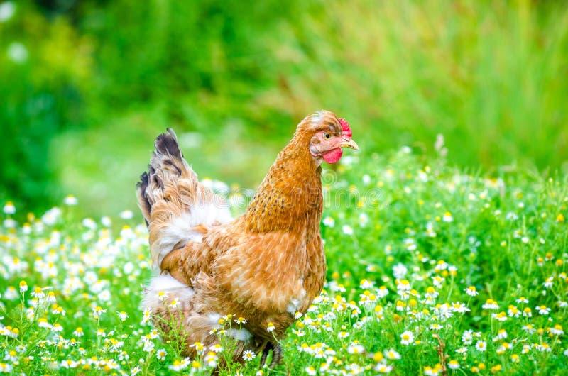 Милый коричневый цыпленок стоковая фотография rf