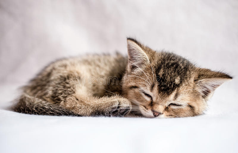 Милый котенок великобританская золотая шиншилла тикала сладостно спит стоковая фотография rf