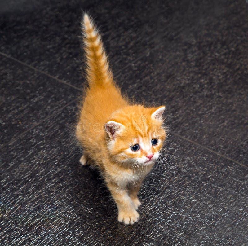 милый котенок имбиря стоковое фото rf