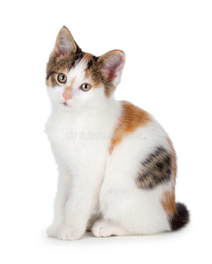 Милый котенок ситца на белой предпосылке. стоковое фото rf