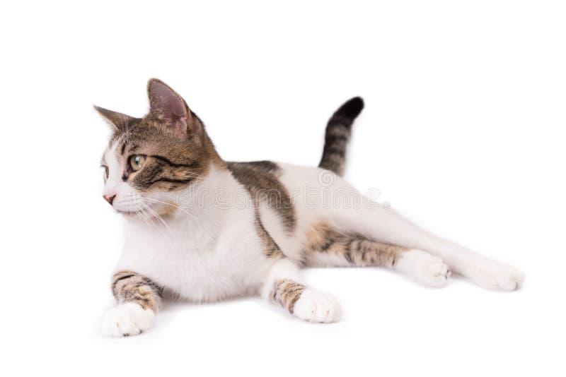 Милый кот лежа на белой предпосылке и смотря в сторону стоковое фото rf